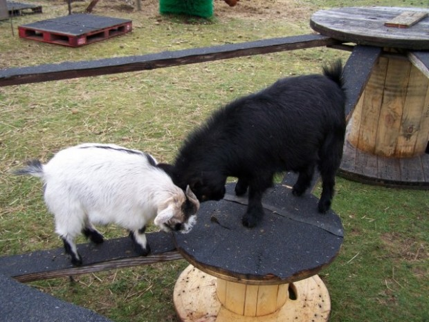 Toys for Goats to Keep Them Busy