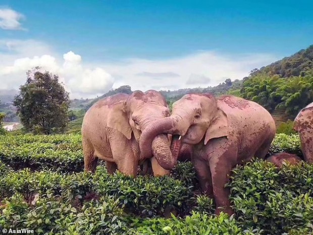 While Humans are Social Distancing, Elephants are Stealing Their Wine and Partying