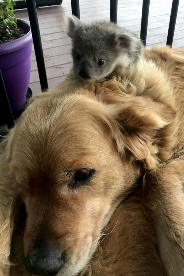 Caring Golden Retriever surprises owner with baby koala whose life she just saved