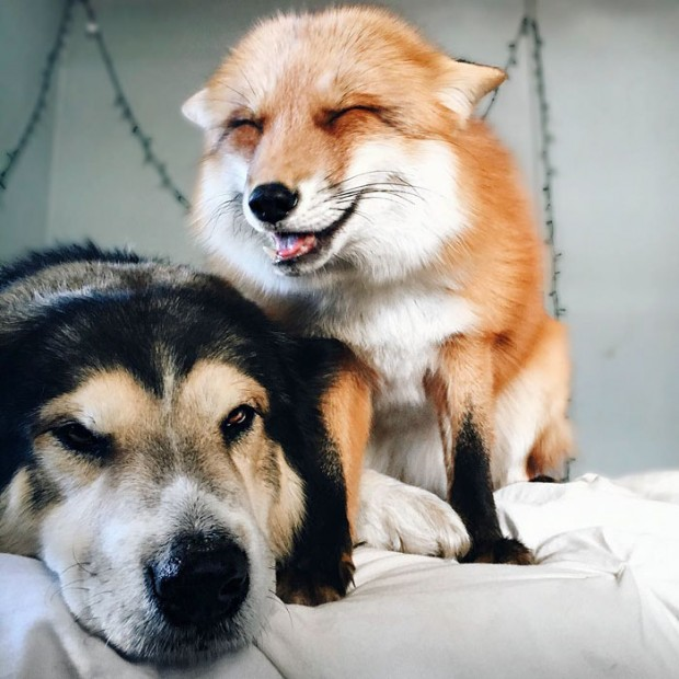 Rescued fox and rescued dog become best friends