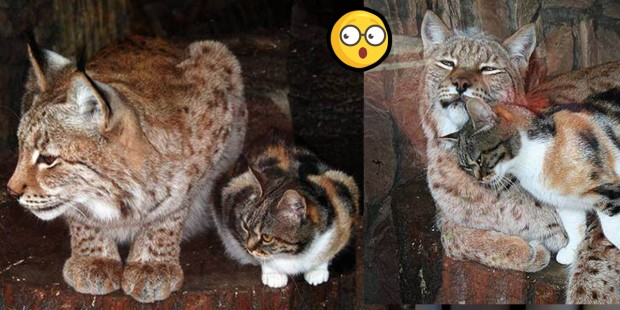 Stray cat breaks into zoo, fell in love with lynx in the sweetest way