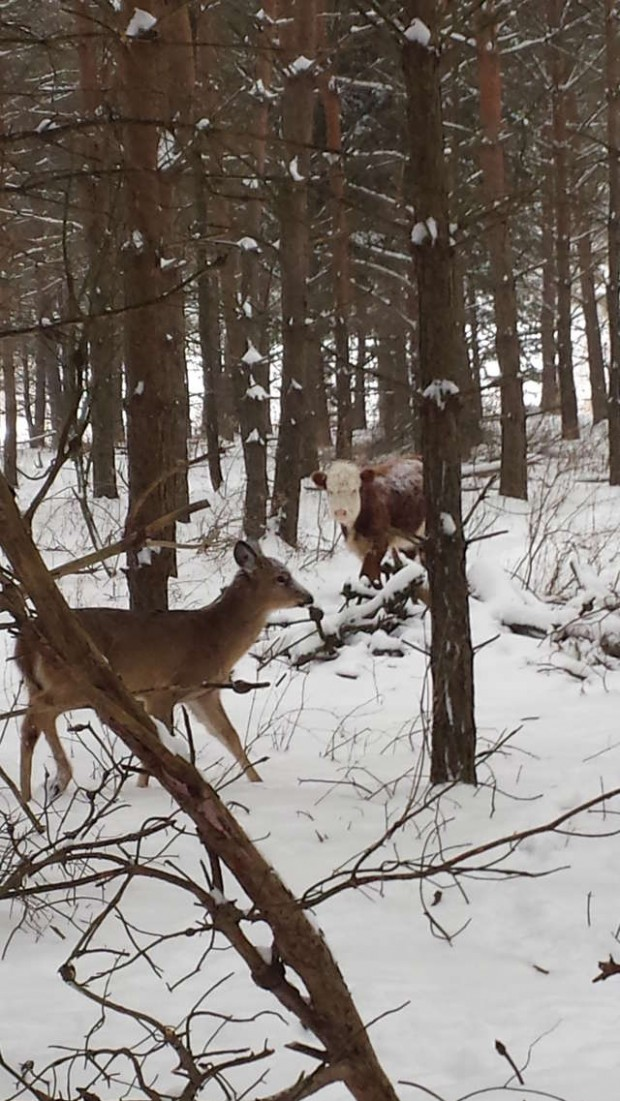 Baby cow escapes slaughterhouse – gets adopted by wild deer family